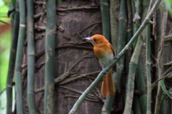 Rufous Paradise Flycatcher (4)