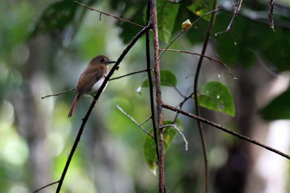 Rufous-tailed Jungle Flycatcher (4)