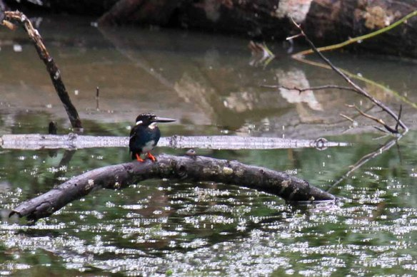 Southern Silvery Kingfisher (19)
