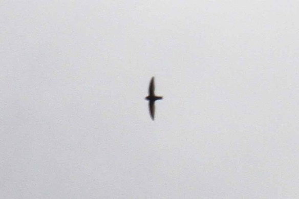 Swiftlet sp, Mt Kitanglad (3)