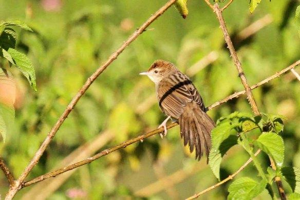 Tawny Grassbird (4)