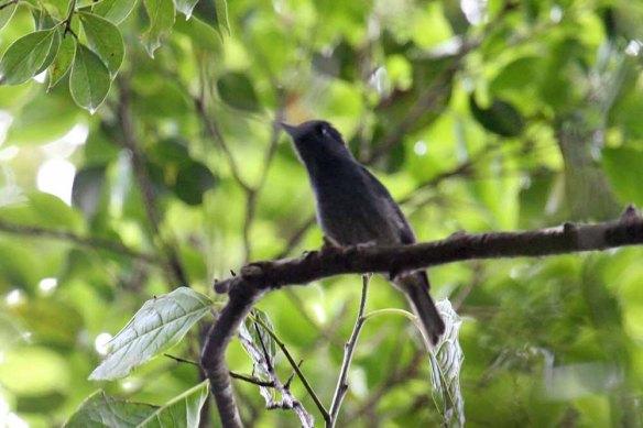 Turquoise Flycatcher (4)