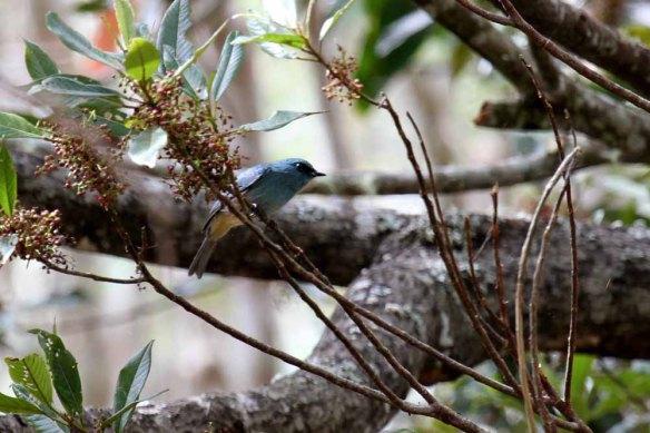 Turquoise Flycatcher (7)