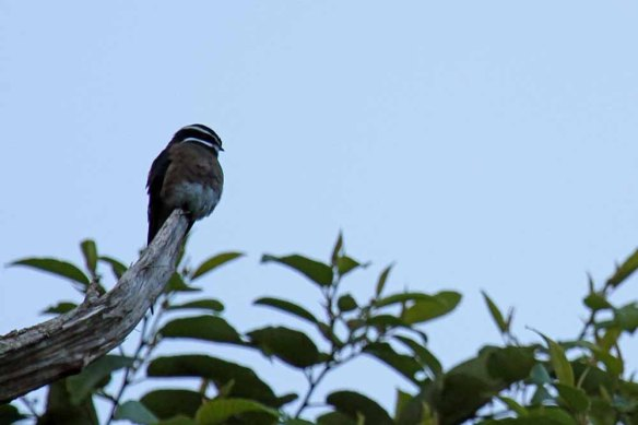 Whiskered Treeswift (3)